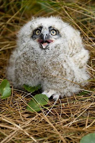 great horned owlet michael halminski photographer